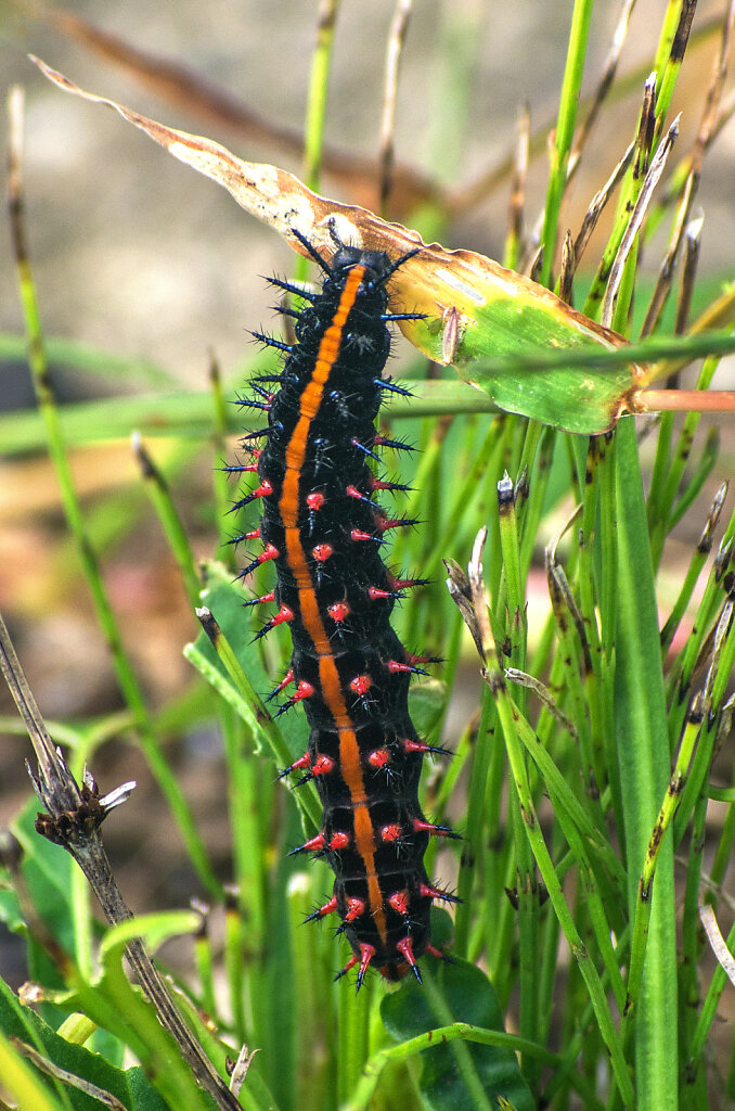 1-caterpilar-insect.jpg